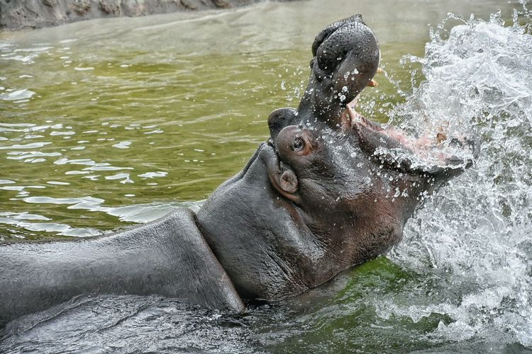 Hippo Zoo Wildlands  Emmen Water Splash Animal Wildlandsadventurezoo