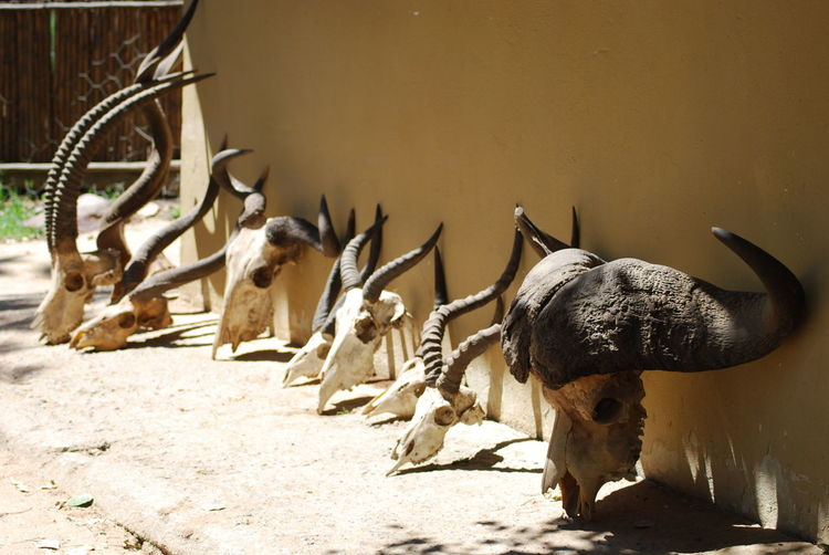 animal conservation identification programme Animal Conservation Animal Horn Animal Skull Animal Themes Animal Wildlife Animals In The Wild Horn Kruger Park Mammal Nature No People Outdoors South Africa Wild Animal Identification Wild Animals Up Close