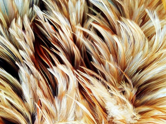 Feather  Feathers Feather Collection Nature Abstract Abstract Art Nature Art Abstract Photography Nature Art Photography Art Photography Imagination Imagination Photography Imagination Collection Close Up Photography Close Up Feathers Of Chicken Feather Art Feather Color Colorful Feather Colorful Feathers Feather Close Up