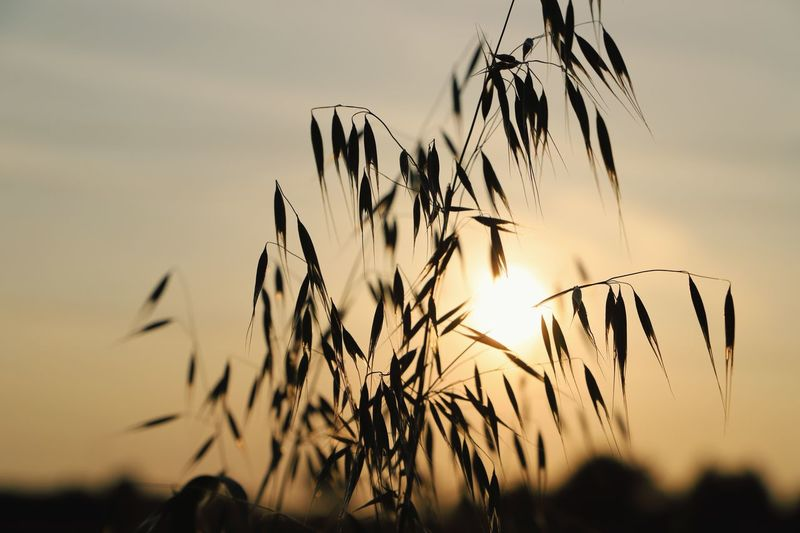 Wild Oats plant