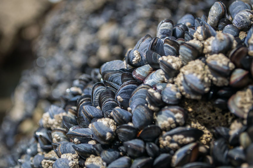 Mussel shells on rocks at the beach Mussel Mussel Shell Mussels Musselshell Seaside Shell Shell Photography Shells
