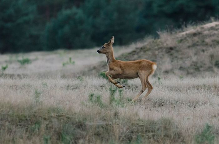 Amazing Creatures Wildlife Photography Naturelovers Holland Photography Nature Photography Hobby Beauty In Nature Veluwe Deer Roebuck