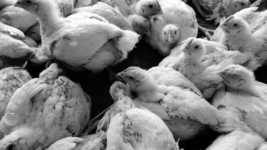 Chickens Hens And Chickens Black And White Simple Beauty
