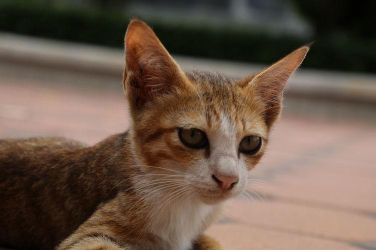 猫 Cat Cat Eyes Cat Lovers Close-up 子猫 若い猫 Thailandtravel