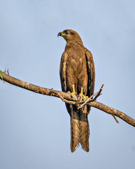 Low angle view of eagle perching on branch against sky
