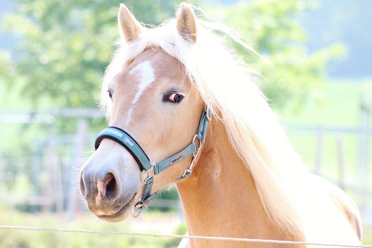Haflinger Horse Mane Portrait Summer Looking At Camera Brown Horse Close-up Animal Eye Animal Head  Pony