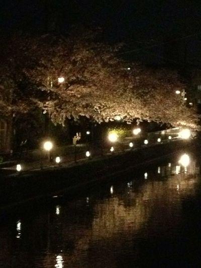 川面に照る桜も綺麗 疏水 桜 サクラ #夜景 #Night View Light Up