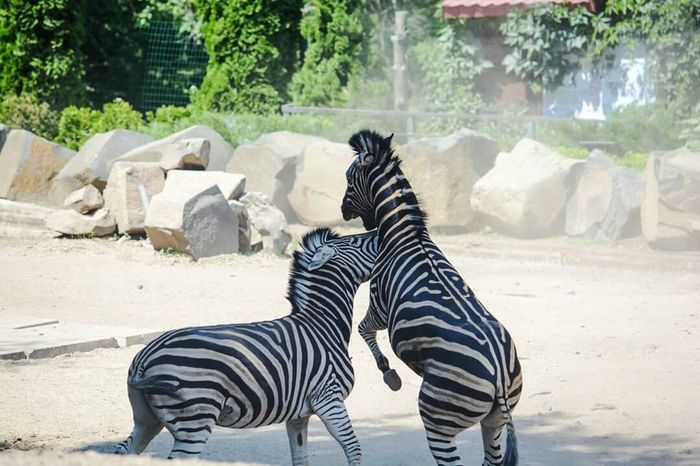 Zebra Safari Animals Standing Animal Markings