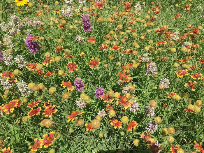 Field of wildflowers Plant Flower Flowering Plant Growth Full Frame Freshness Beauty In Nature Day Backgrounds No People Field Nature Outdoors Multi Colored