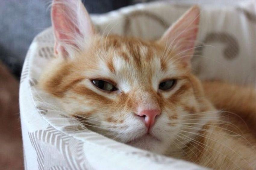 Cat Áfonya Afonsiko Афоня рыжий кот Cats Cat♡