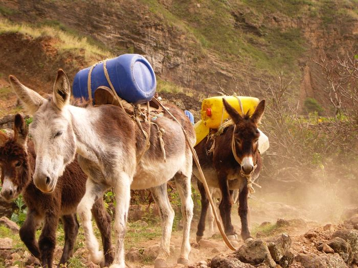 Donkeys carrying plastic cans