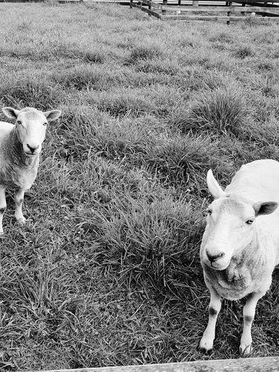 sheep Delia &