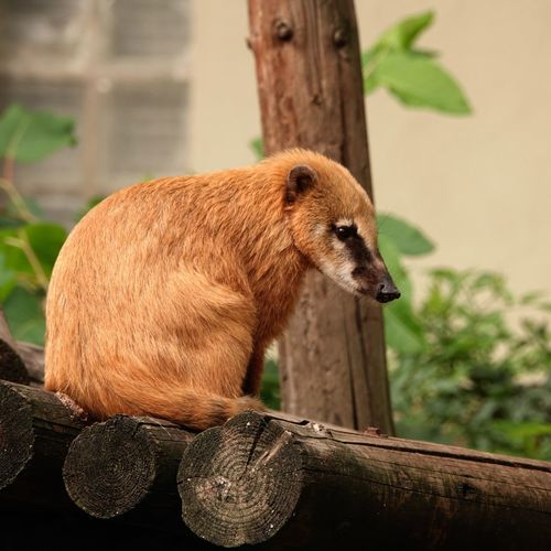 South American Coati Coati Ring-tailed Coati Nasua Nasua One Animal Animal Themes Animal Animal Wildlife Animals In The Wild Mammal Vertebrate Focus On Foreground Looking Away Animal Body Part Looking Close-up Nature Wood - Material Outdoors Side View Tree No People Plant Day