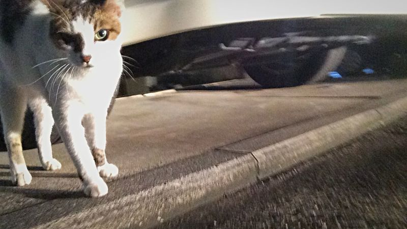Stray Cat 野良猫 夜ねこ