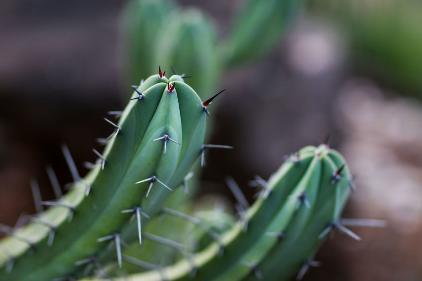 Cactus Thorns Cactus Spiked Spike Green Color Close-up Growth Succulent Plant Plant No People Thorn Selective Focus Day Outdoors Nature Beauty In Nature Sharp