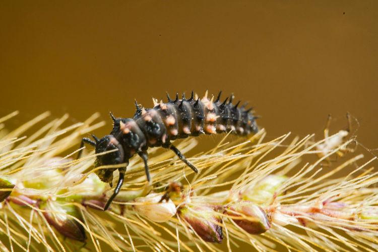六條瓢蟲幼蟲 Insect