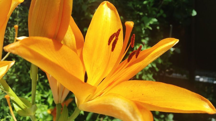 Growth Flower Nature Orange Color Beauty In Nature Petal Plant Focus On Foreground Close-up Blooming Freshness Flower Head Yellow Fragility Outdoors No People Day Day Lily Lilium Lilium Petal Liliums