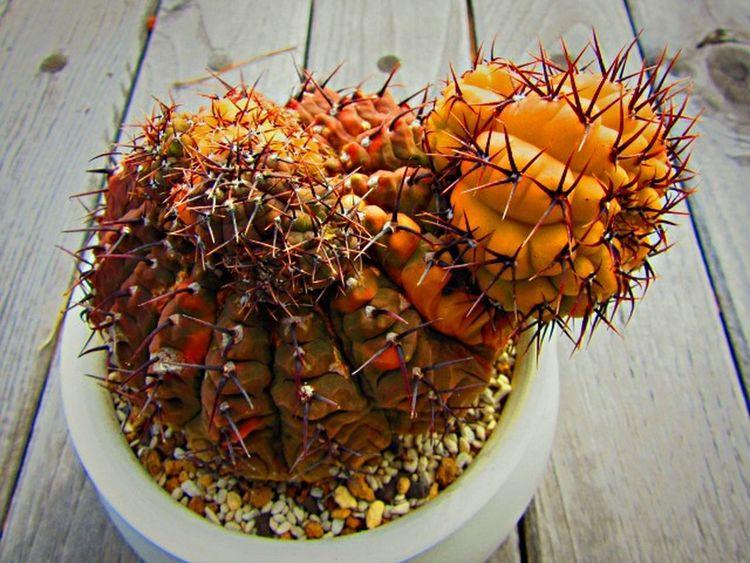 Cactus Cacti サボテン Japaneseーcactus Succulents