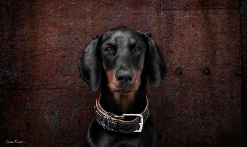 Xaria Dog
