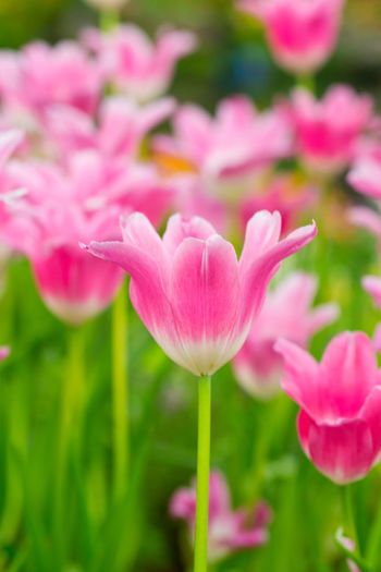 Tulips🌷 Flower Plant Flowering Plant Beauty In Nature Fragility Vulnerability  Freshness Close-up Pink Color Petal Growth Inflorescence Nature No People Flower Head Selective Focus Plant Stem Day Field Tulip Outdoors
