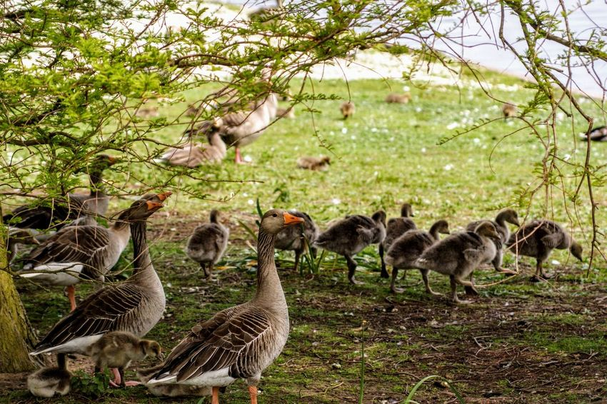 Animal Animal Family Animal Themes Animal Wildlife Animals In The Wild Bird Day Flock Of Birds Goose Gosling Group Of Animals Land Large Group Of Animals Nature No People Plant Tree Vertebrate Young Animal Young Bird