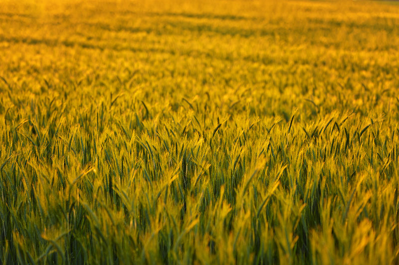 a wheat field in the evening sun Golden Agriculture Beauty In Nature Cereal Plant Crop  Cultivated Cultivated Land Day Evening Farm Field Freshness Growth Landscape Nature No People Outdoor Outdoors Rural Scene Scenics Summer Tranquil Scene Tranquility Wheat Yellow