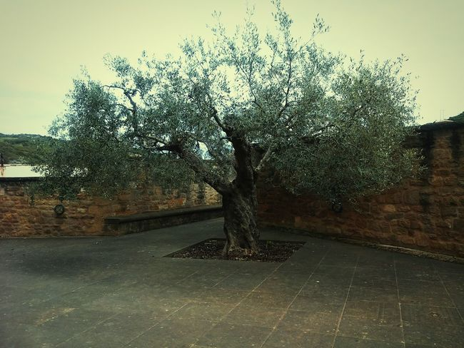 Tree Beside Church Wall Reminds Lord Of The Rings in SPAIN