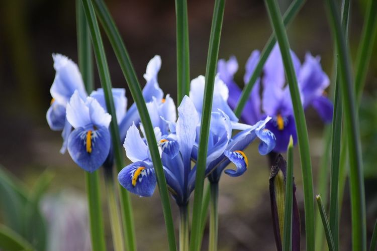 Flower Blue Plant Freshness Nature Purple Growth Close-up Beauty In Nature Iris - Plant Fragility No People Day Outdoors Flower Head Crocus Floral Pentaxamania Eye4photography  EyeEmBestPics EyeEm Nature Lover Yorkshire Dales