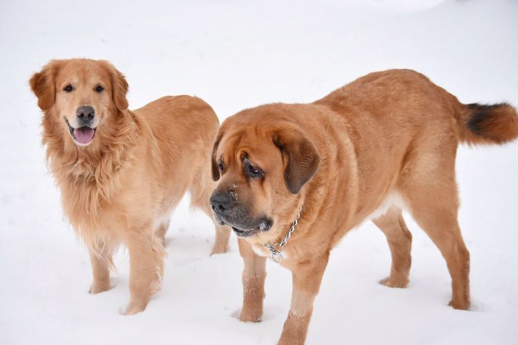 My dogs ❤️ Dog Animal Themes Mammal Pets Domestic Animals Snow Winter Retriever Cold Temperature Looking At Camera Weather Brown Portrait Golden Retriever No People White Background Nature Dachshund Day Outdoors Pet Photography  Snow Covered Snow ❄ Playing Outdoor Photography
