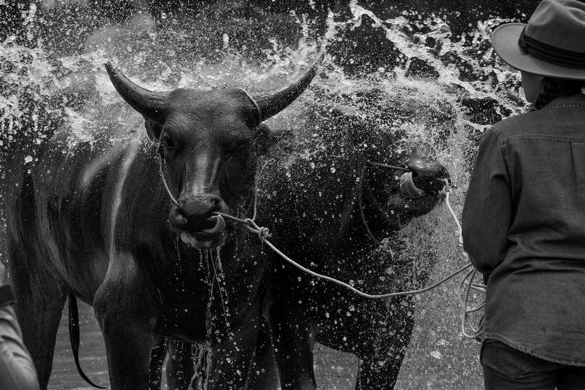 Beautiful Blackandwhite Buffalo Day Lifestyles Nature Shower Time
