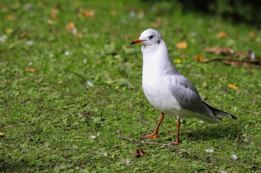Animal Animal Themes Animal Wildlife Animals In The Wild Bird Close-up Day Field Focus On Foreground Full Length Grass Green Color Land Nature No People One Animal Perching Plant Seagull Vertebrate