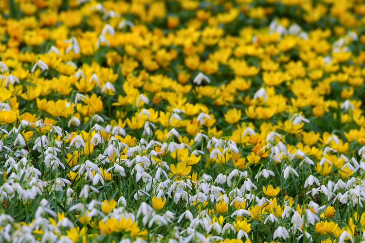 Close-Up Of Yellow Crocus Flowers Blooming In Field