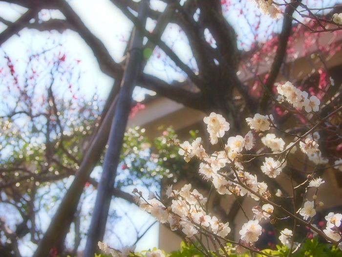 Tree Flower Nature Growth Beauty In Nature Low Angle View No People Outdoors Plum Blossom Plum Tree Soft Focus