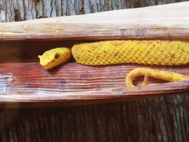 They'll never see me in here. 🐍 Yellow Nature Photography Nature_collection Eyelash Viper IPhoneography Close-up Beauty In Nature Animal Wildlife Viper  Snake Snakes Poisonous Poisonous Snakes Paint The Town Yellow