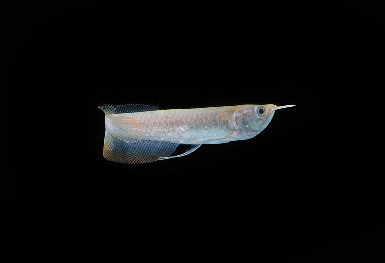 Silver Arowana fish in thailand Animal Themes One Animal Animal Black Background Animal Wildlife Vertebrate Fish Animals In The Wild Sea Studio Shot Marine Sea Life Underwater Swimming Water Indoors  Nature Profile View No People Saltwater Fish Close-up Copy Space