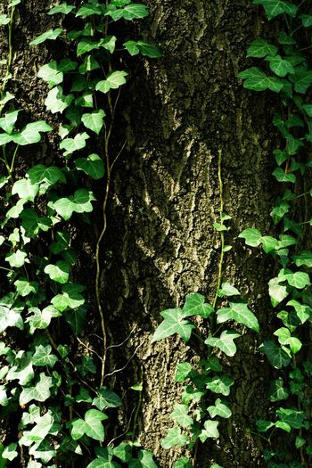 September 2018 Vine Vine - Plant Vines On Trees Green Leaves Green Vine Plant Plant Part Green Color Leaf Growth Full Frame No People Nature Outdoors Beauty In Nature High Angle View Branch Backgrounds Tree Sunlight Close-up Textured  Day