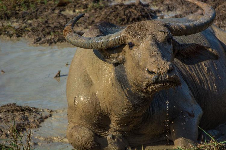 Portrait Of Water Buffalo Relaxing On Muddy Field