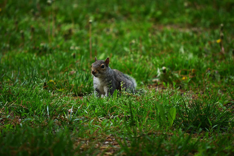 Squirrel is ready by Kesi J. Marcus Animal Themes Animal Wildlife Animals In The Wild Day Domestic Animals Grass Green Color Growth Mammal Nature No People One Animal Outdoors Pets Sitting Squirrel Washington, D. C.