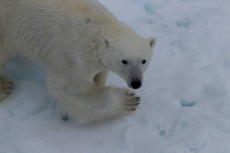 The polar bear is always one of the most exciting sightings in the Arctic! Polar Bear Arctic Svalbard  Spitsbergen Wildlife Mammal Snow Ice Ice Floes White