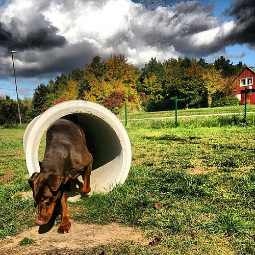 Apollo comming out of tunnel Ig_sweden All_doberman Doberman  Dobermann gloryofsweden tunnel cloud cloudporn instagood dobbie world_shotz sweden tagstagram