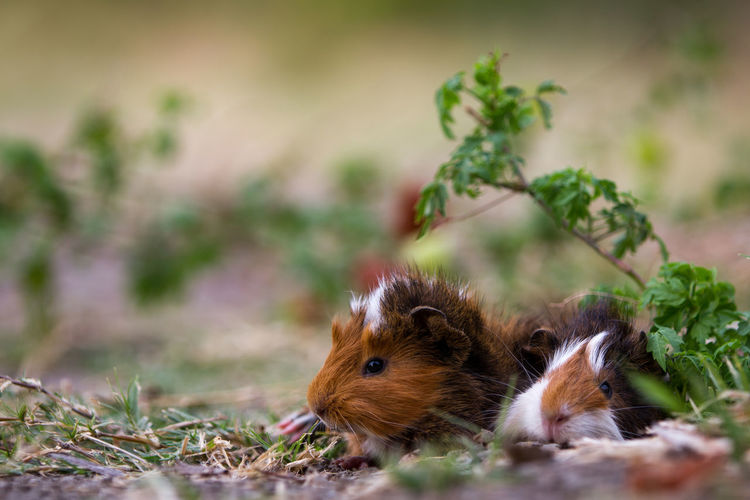 Close-up of guinea pigs on field
