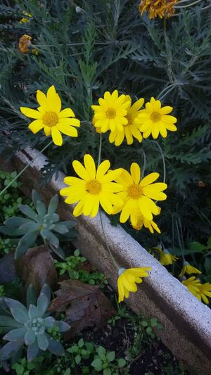 🌼 Flowers Spring Sun Yellow Flower First Eyeem Photo
