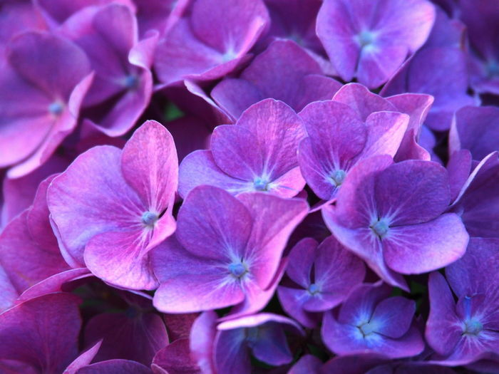 Backgrounds Beauty In Nature Bright Flowers Close-up Day Flower Flower Head Flowering Plant Freshness Full Frame Garden Photography Growth Hydrangea Hydrangea Blossom Inflorescence Lilac Nature No People Outdoors Petal Plant Purple