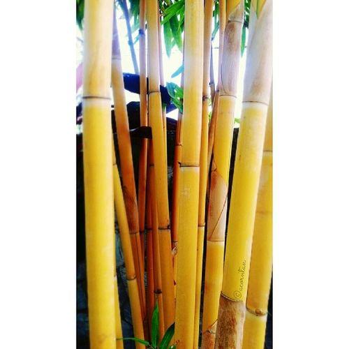 สมกับที่ได้ชื่อว่าไผ่สีทอง Hugging A Tree Nature Yellow Bamboo