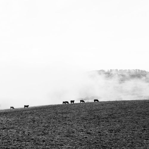 Animal Themes Animals Beauty In Nature Blackandwhite Photography Cows Grazing Cows In A Field Day EyeEm Gallery Fog Landscape Mammal Nature No People Outdoors Sky