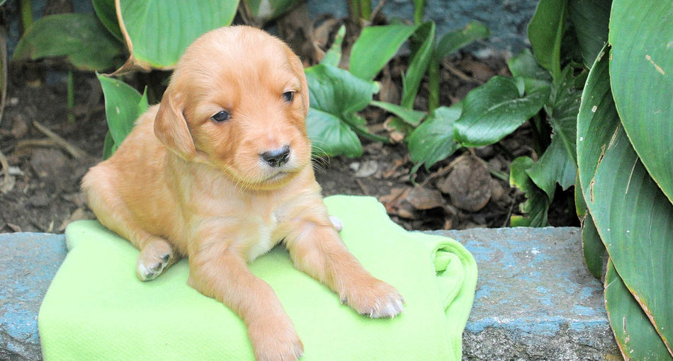"""Yeah, I""""m cute and I know it Cute Baby Animals Puppy Dog Puppy Love Sad Eyes So Cute Adorable Puppy Cute Eyes Cute Face Cute Puppy Doggy Golden Labrador Heart Warming Puppy Dog Eyes Too Cute Young Animals Young Dog"""