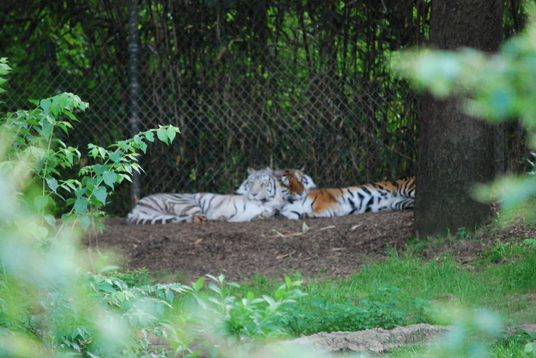 Animal Themes Animal Wildlife Bengal Tigers Carnivora Day Feline Grass Lean On Each Other Mammal Nature No People Outdoors Plant Tiger Two Tigers White Tiger Wildlife Photography