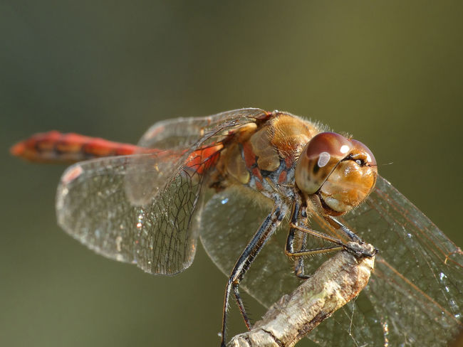 Sympetrum Striolatum - Serchio River Anisoptera Arthropoda Beauty In Nature Close-up Dragonfly Dragonfly Happy Dragonfly On Plant Funny Hexapoda Insect Insect Portrait Insecta Libellulidae Looking At Camera Odonata Odonata Happy Odonata On Plant Odonata Smiling Smile