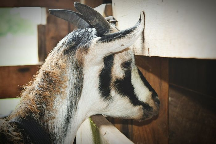 Mama looking for her baby Goat Goats Natural Pattern Natural Beauty Animals Farm Farm Animals Farm Animal Close Up Farm Creatures Conner Prairie