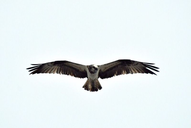 Birds Bird Bird Photography Birds_collection Birds In Flight Flying Fly Flying Bird Freedom One Animal お散歩Photo 羽広げると結構大きい🐦